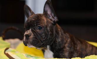 De Smet Herman - Franse bulldog